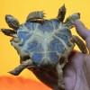 Tartaruga de duas cabeças e seis patas é exposta em museu na Ucrânia