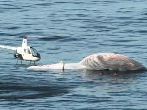baleia-morta-praia-de-rj