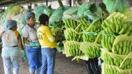 Bananas com risco de extinção