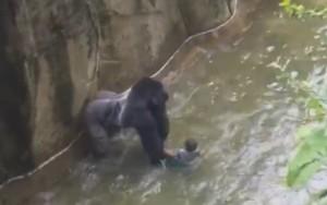 Gorila é sacrificado após atacar criança que invadiu cativeiro em zoológico