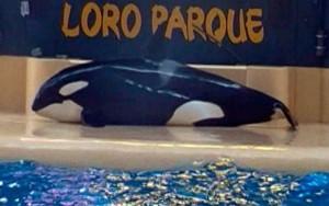 """Orca sai de piscina por 10 minutos em """"tentativa de suicídio"""" durante show"""