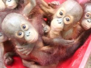 Bebês orangotangos são resgatados dentro de táxi na Tailândia