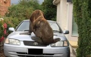 Lobo-marinho passeia pelas ruas e escala carro em subúrbio australiano