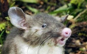 """""""O rato comeu toda maconha"""": polícia culpa roedores por sumiço de 25 kg de droga"""