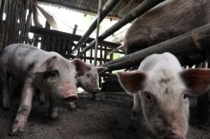 porcos-gripe-suina